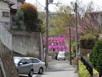 130404 shibazakura1.jpg